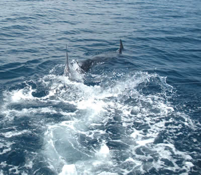 Papagao marlin fishing